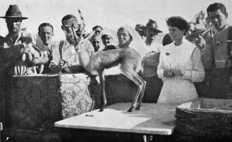 pet_gazelle_1917-2